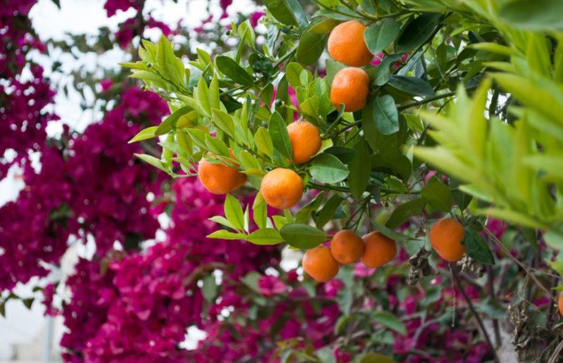 Весна в Турции – время пробуждения чудесных ароматов цветения лимонов, апельсинов